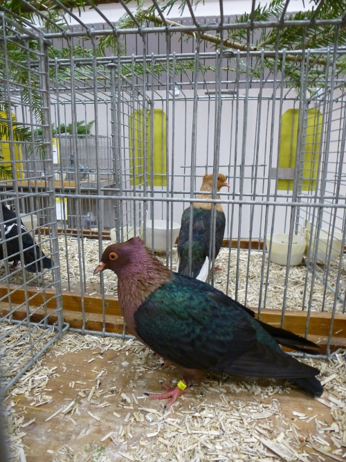 2. Platz Tauben Aktive